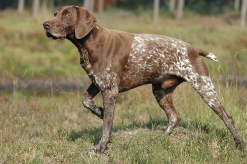 Бургосская легавая: прекрасный помощник на охоте