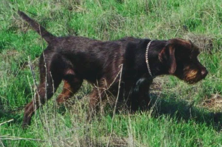 Порода собак: пудель-пойнтер