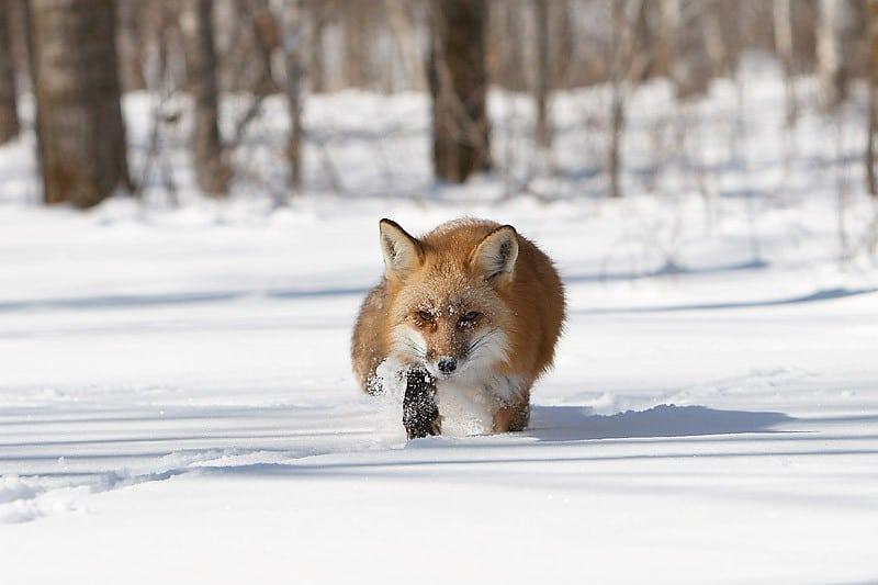 Охота на лис капканами