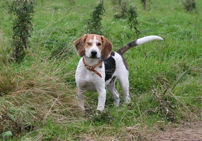 Собака Бигль описание породы, характер