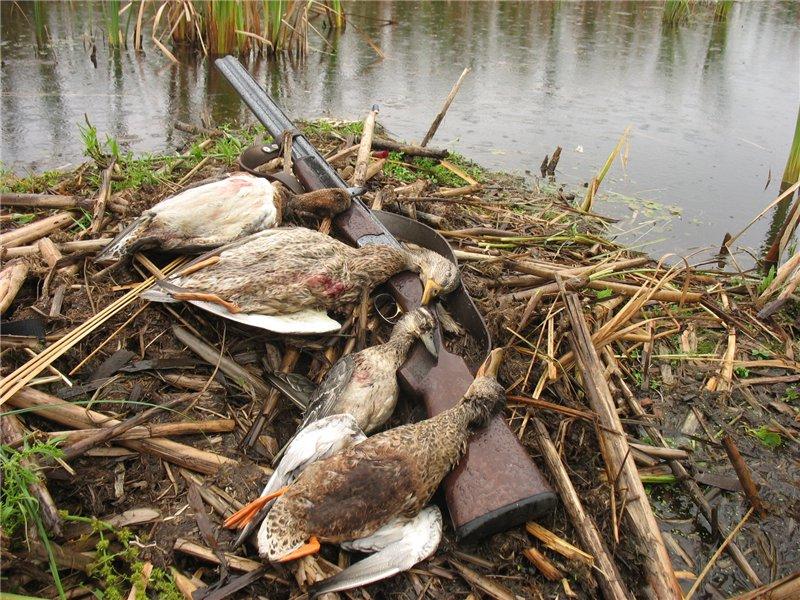 Открытие охоты на утку осенью