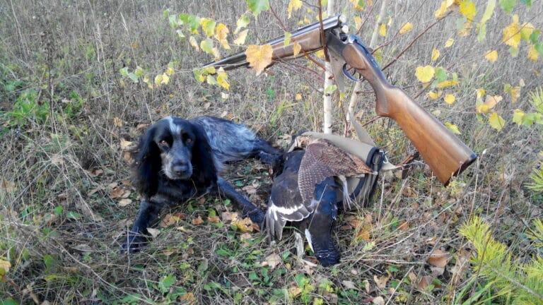 Русский спаниель на охоте-2