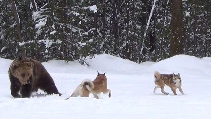 Сибирская лайка хаски