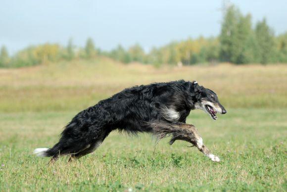Охота с русской псовой борзой