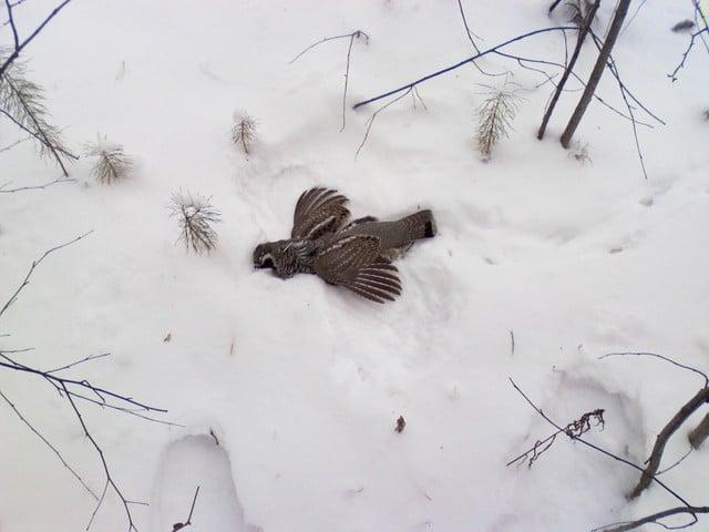 Охота на рябчика зимой