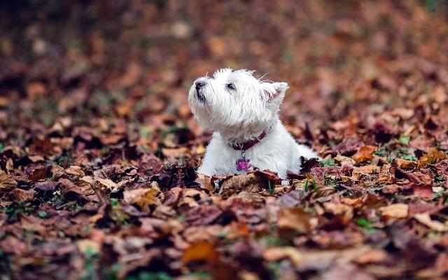 Порода собаки вест хайленд уайт терьер