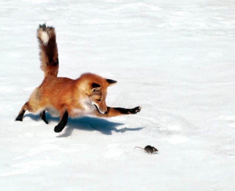 лиса на охоте