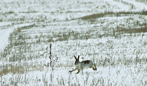 Интересная охота на зайца зимой троплением