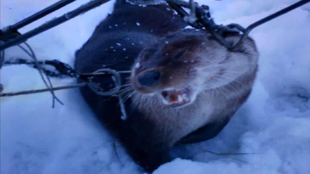 Зимняя охота на выдру
