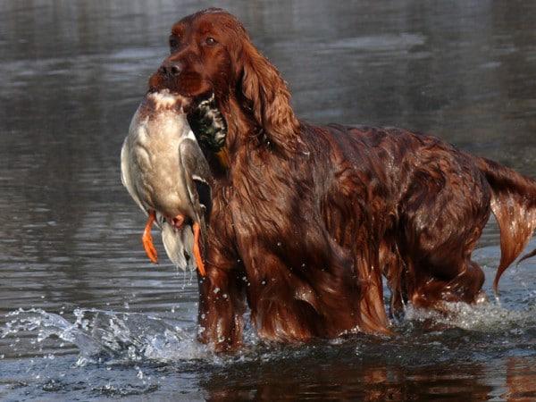 Порода собак Ирландский красный сеттер