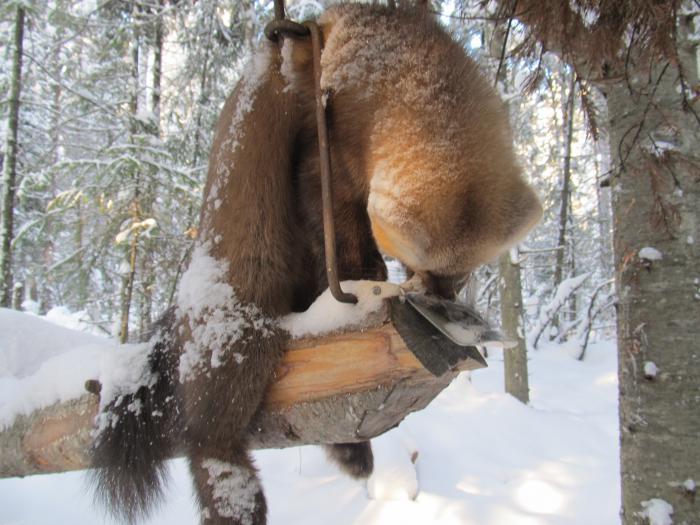 Охота на куницу зимой