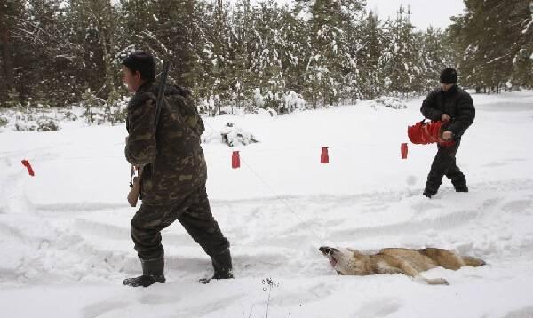 Зимняя охота на волков с флажками