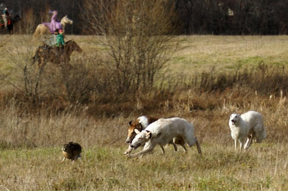 Охотничья собака русская псовая борзая