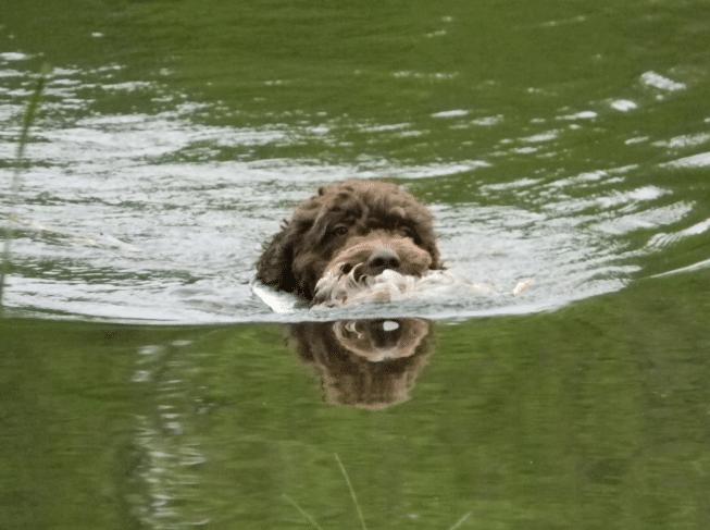 Порода собак - Барбет
