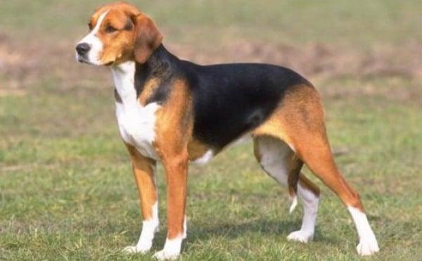 Порода собак Русская гончая
