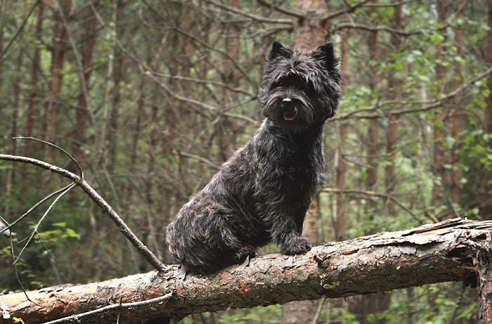 Порода собак керн-терьер