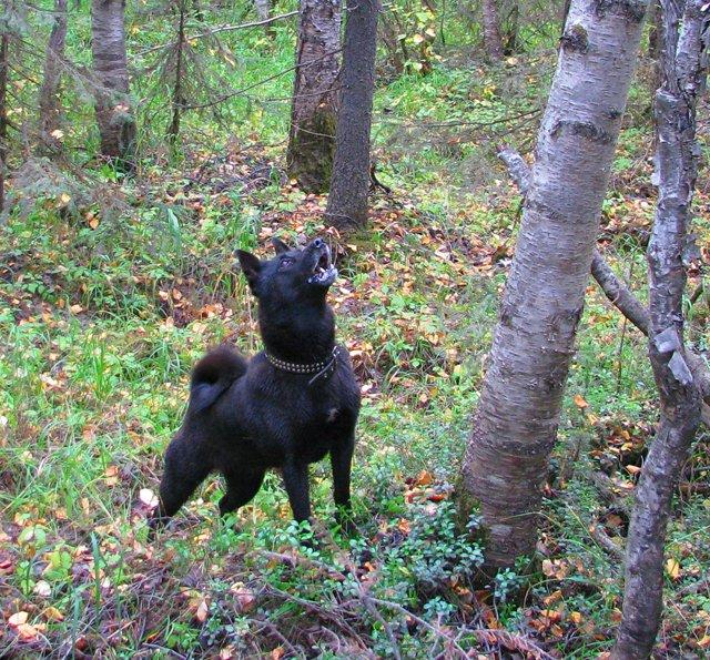 Норвежская черная лосиная лайка