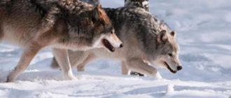 волки на охоте зимой