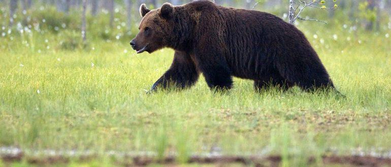 неожиданная встреча с медведем