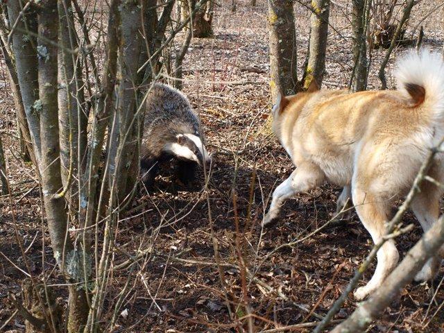 охота на барсука с лайками