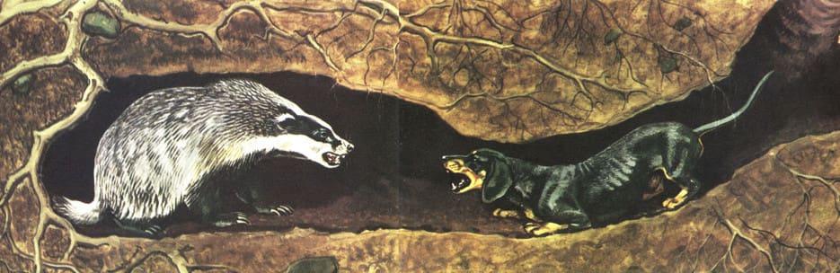 охота на барсука с норными