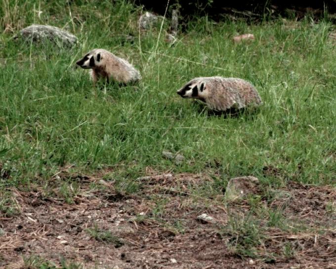 сезон охоты на барсука