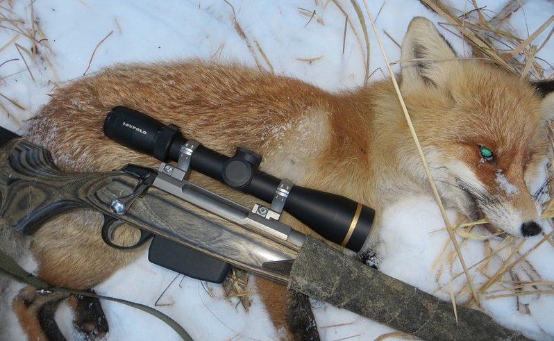охота на лису с подхода