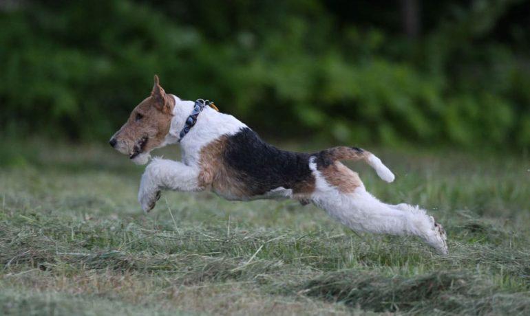 Норные-породы-собак-фокстерьер