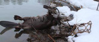 охота на бобров капканами-1