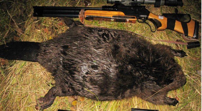 Охота на бобров с ружьем