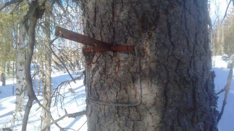 древесный капкан