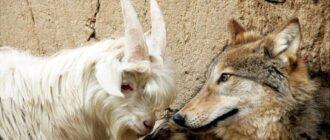 волк и козел