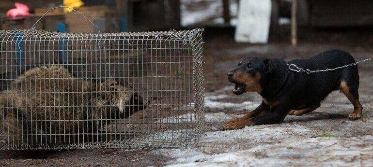 начало притравки собаки