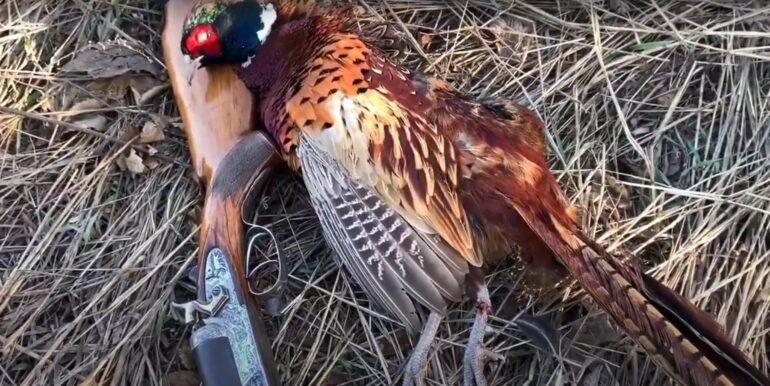 добытый фазан