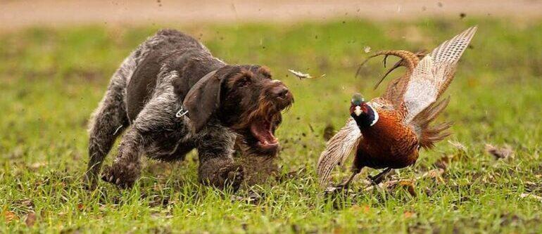 фазан и дратхаар