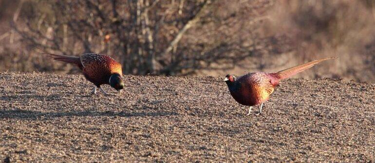 фазан на кормежке