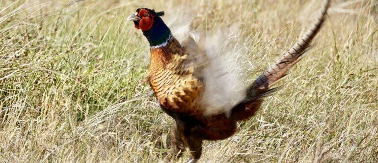 фазан взлетает