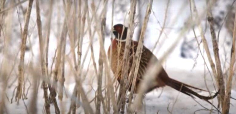 фазан зимой