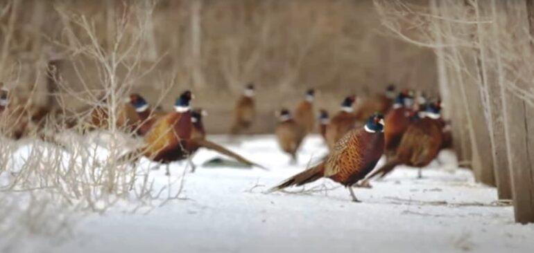 фазаны в заказнике