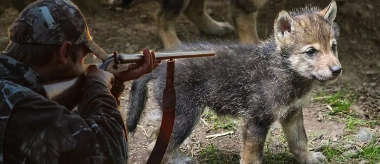 волчонок и охотник
